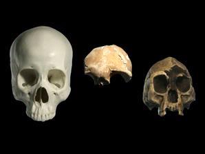 Tengkorak manusia modern dan manusia purba
