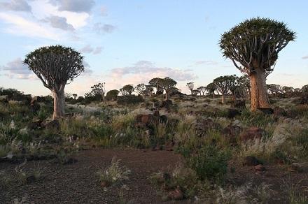 Salah satu jenis tumbuhan Afrika